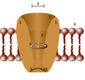 Illustration of an ion channel.