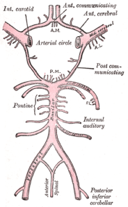 Figure 2. A typical anatomical illustration of the Circle of Willis Image credit: Gray's Anatomy, available at http://commons.wikimedia.org/wiki/File:Gray519.png