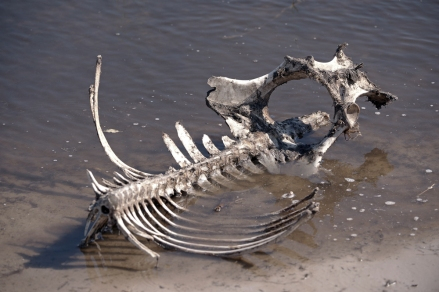 vertebra-animal-bones