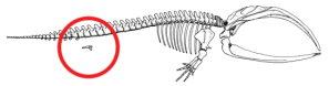 Figure 1. Skeleton of Baleen Whale. Image credit: Azcolvin429 (Wikimedia/Creative Commons)