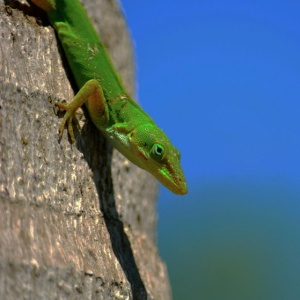 green-anole-1