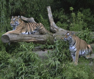 tigers-on-log-1