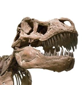 trex-skull-4