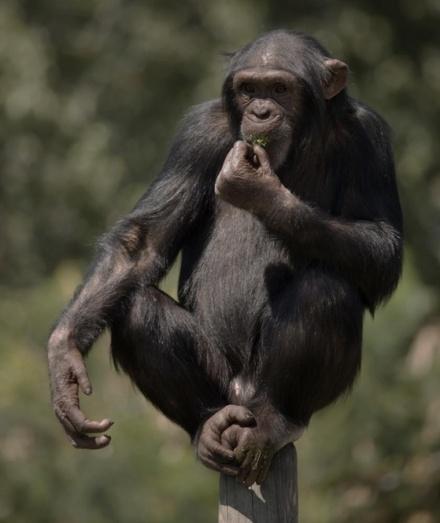 chimp-eating-on-pole-1