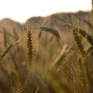 oats-field-1