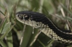 Genetics Discovery in Snakes Adds Legs to the Case for Creation